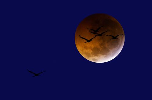 Buckel_Scott_24x16_WhoopingCranesLunarEclipse